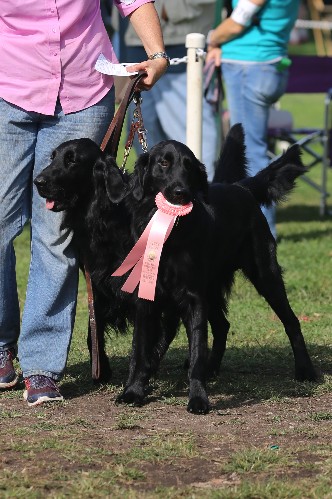 Will and Trip with obedience ribbon picture